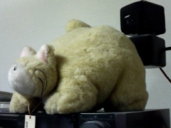 猫錦側方.jpg