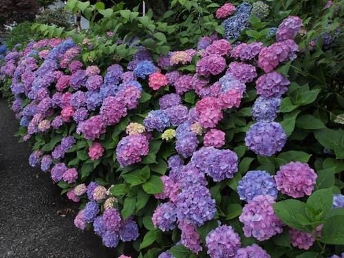 ずっと紫陽花.JPG