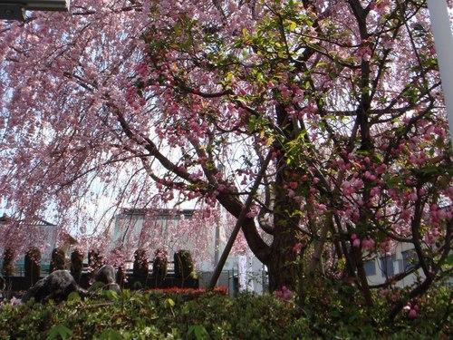 カイドウと枝垂れ桜.JPG