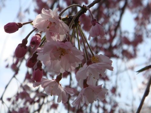 枝垂れ桜アップ.JPG