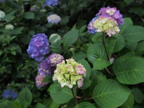 梅雨の紫陽花.JPG