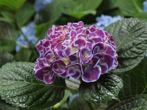 紫の紫陽花.JPG
