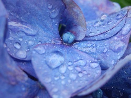 紫陽花と雨1.JPG