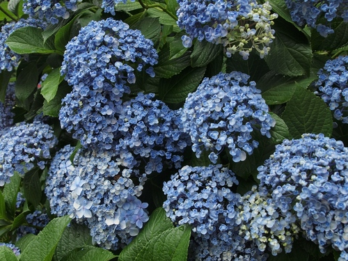 青い紫陽花1.JPG