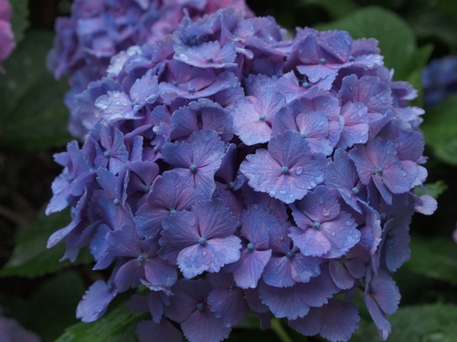 青い紫陽花2.JPG